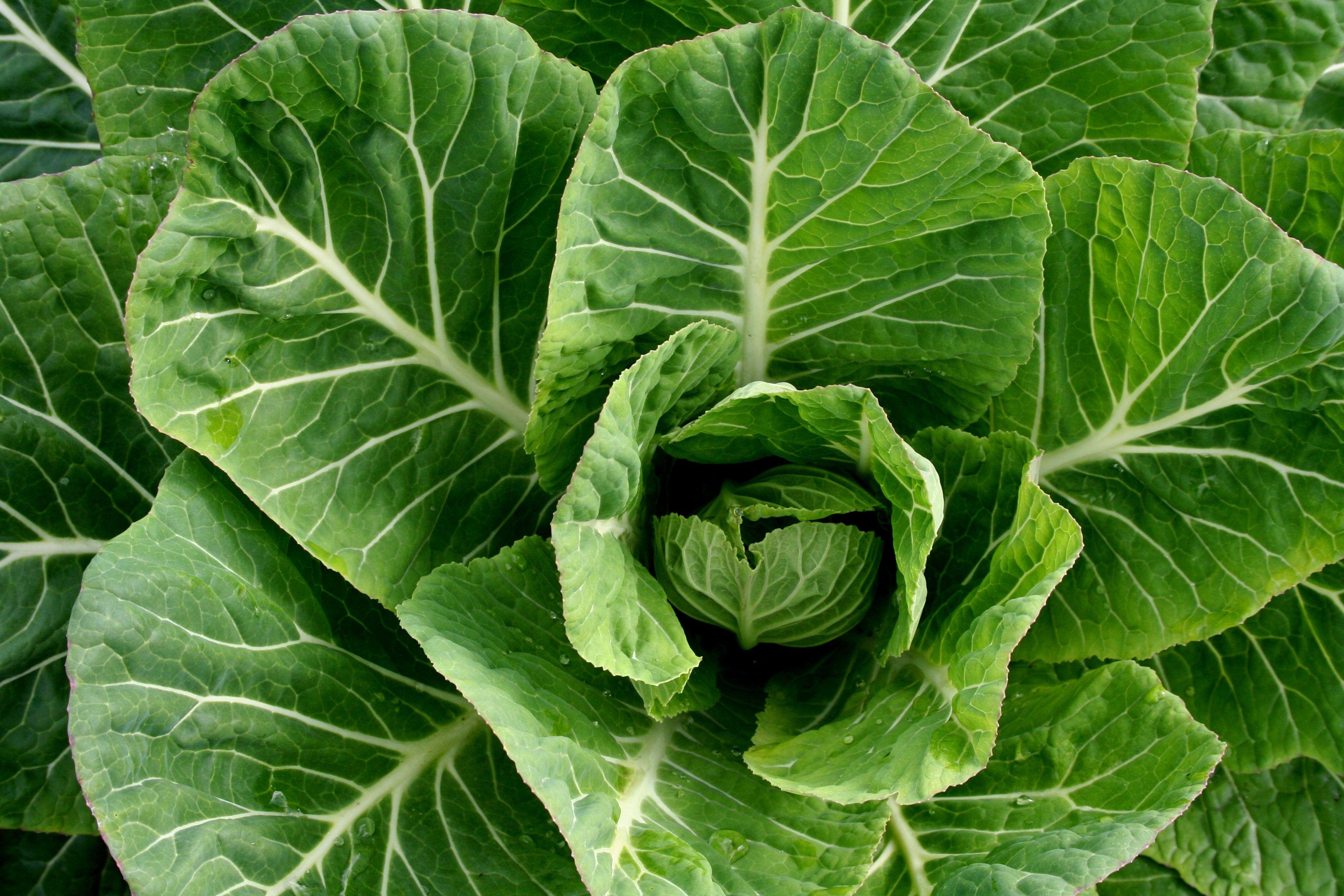 Raw Food Recipe Collard Greens