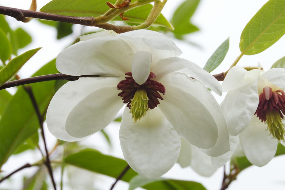 Magnolia sieboldii tree with white flowers.