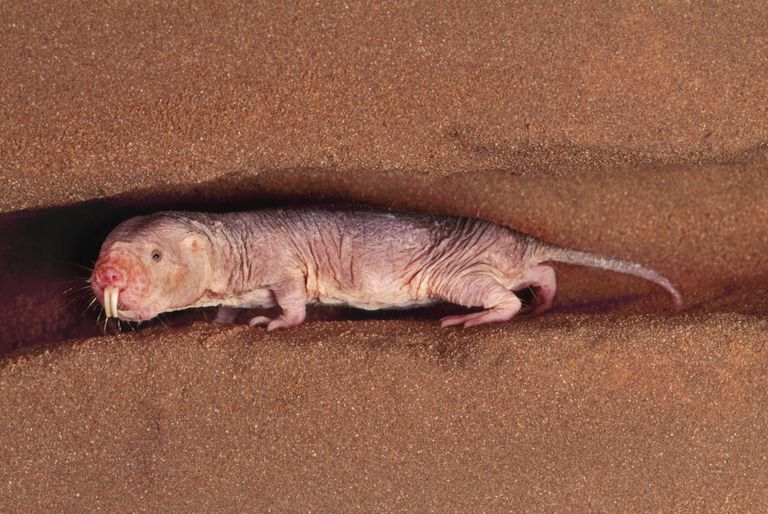 The naked mole rat, Heterocephalus glaber, lives in the drier regions of East Africa.