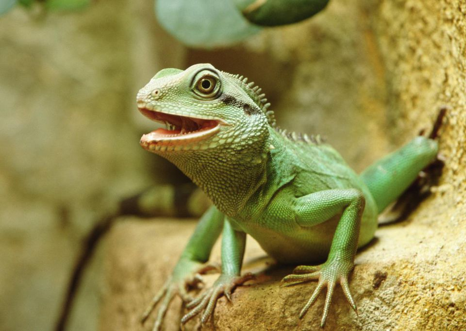 Chinese water dragon (Physignathus cocincinus cuvier), close-up