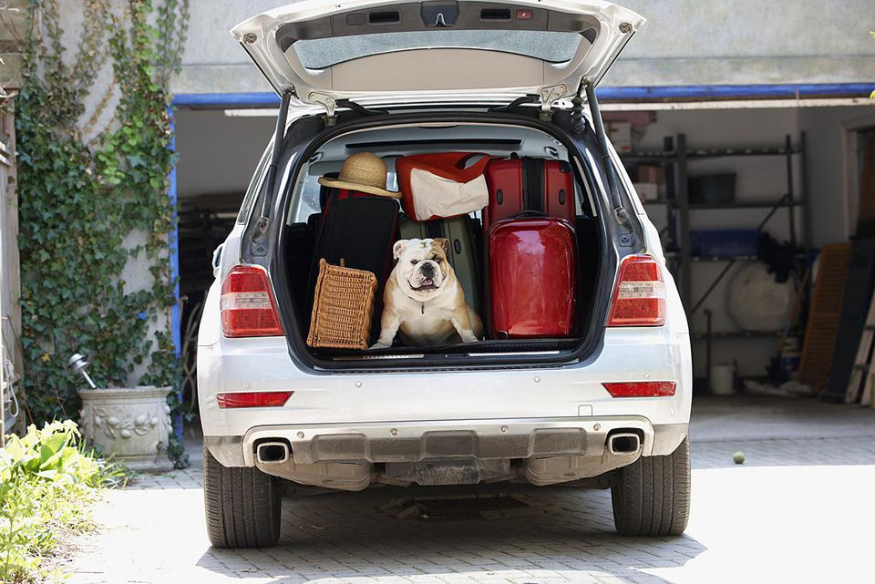 Bulldog packed in the back of a car looking out the hatch door