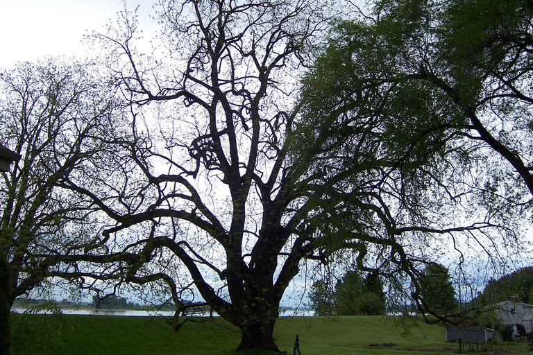 largest known living black walnut tree on Sauvie Island, Oregon.