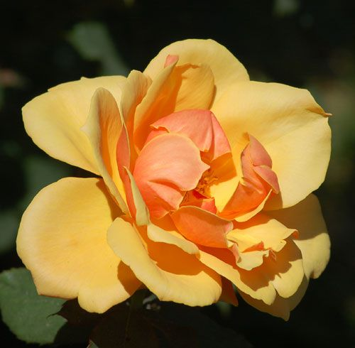Picture of an orange rose. A bicolor flower as the photo shows, this orange rose is an AARS pick.