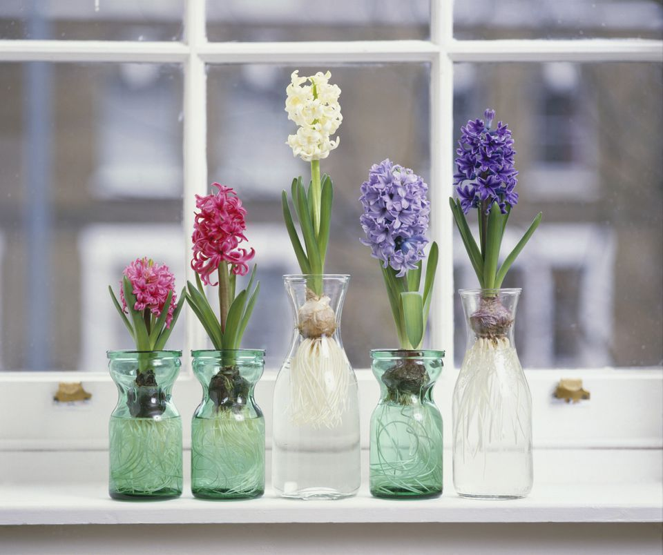 Pink, white and purple hyacinthus plants with bulbs in glass jars on window sill