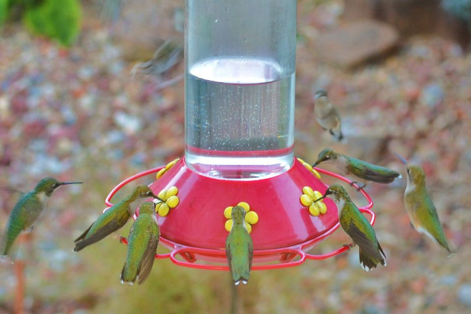 Flock of Hummingbirds at the Feeder