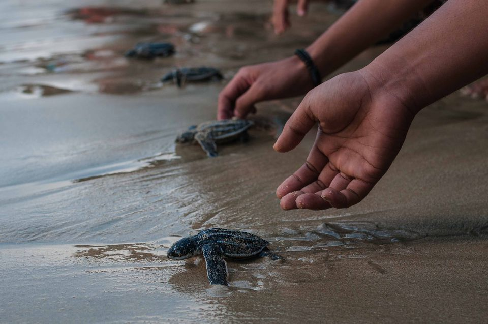 Cropped Image Of Hand Releasing Leatherback Turtles At Beach