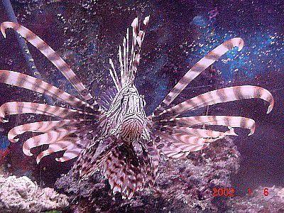 Frank Florez' Volitans Lionfish