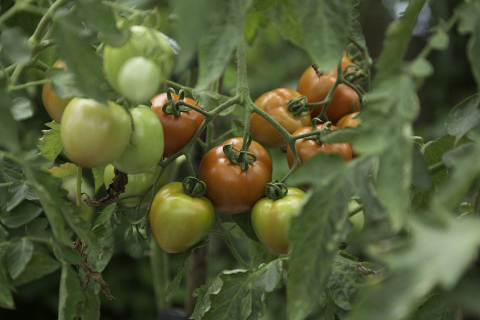 Organic red tomatoes on vine