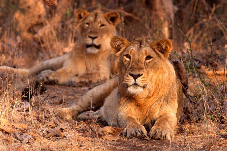 Lions at Gir National Park.