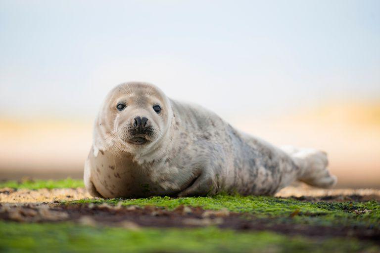 Common Seal - Phoca vitulina