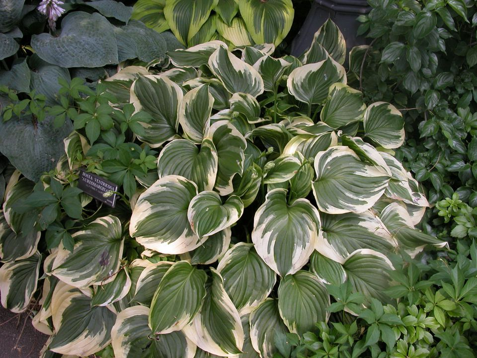 Garden Design with Hosta Leaves in Assorted Textures and Colors
