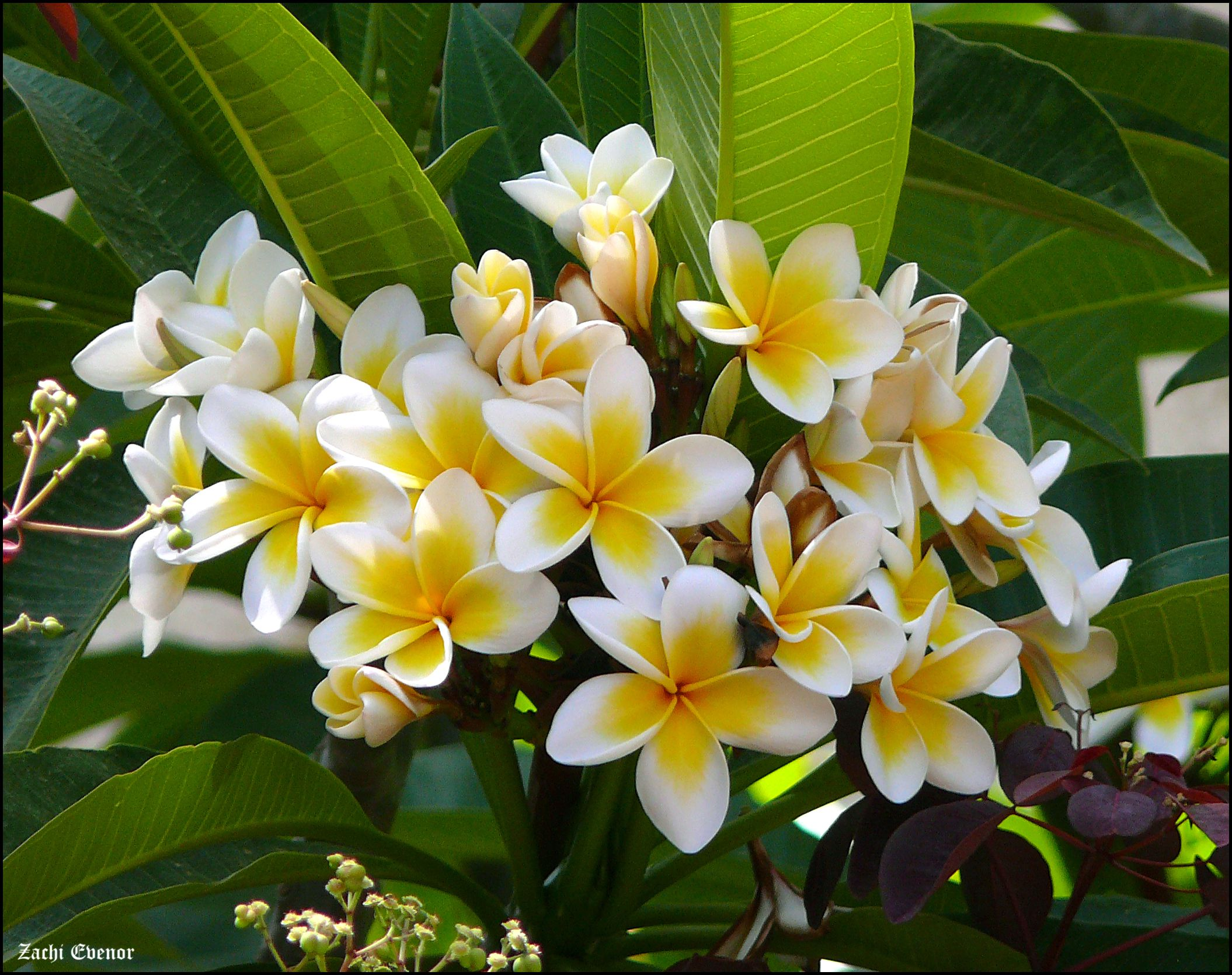 Growing The White Frangipani Plumeria Alba In The Home