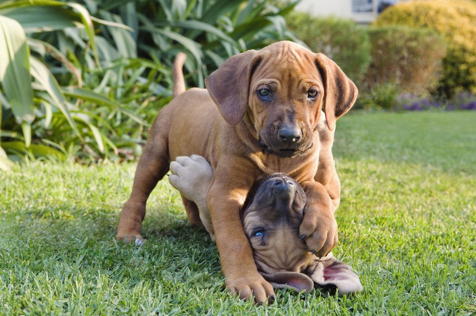 Two puppies playing in garden