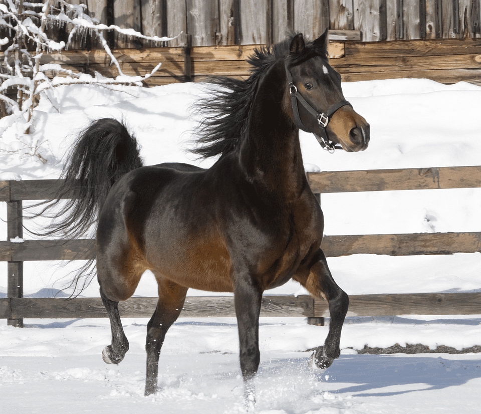 A dark brown Morgan mare trotting through the snow.