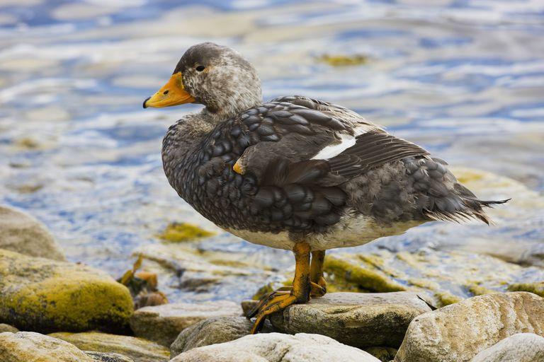 Duck Image #4