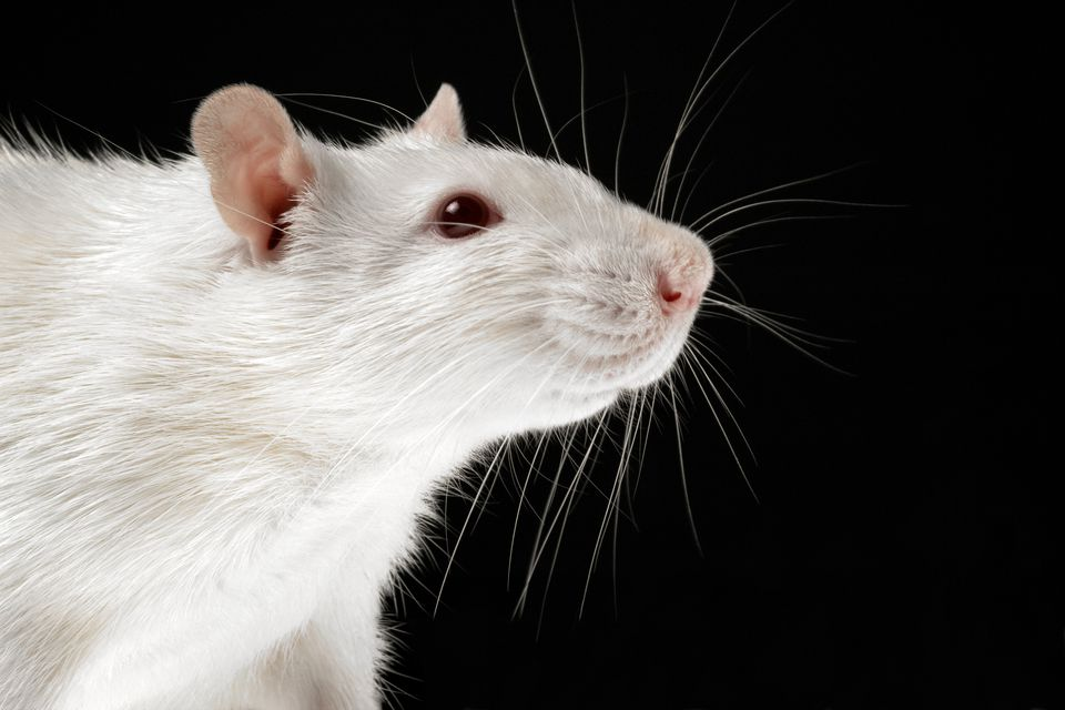 White rat on black background