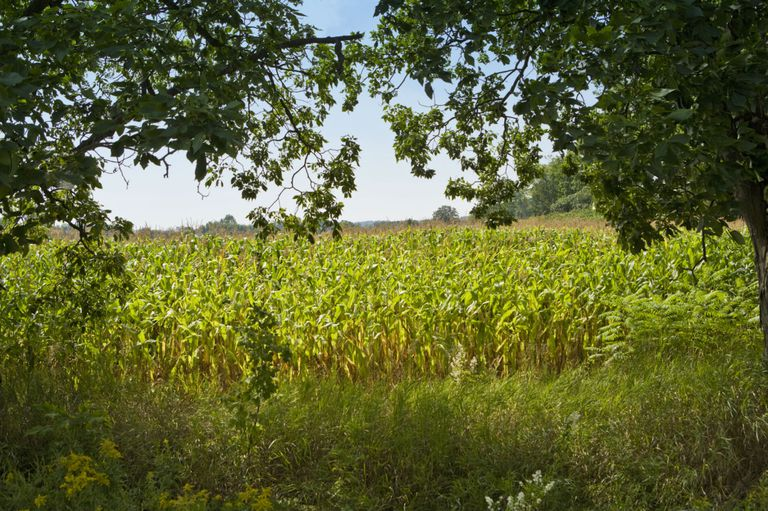 Ontario Corn Field