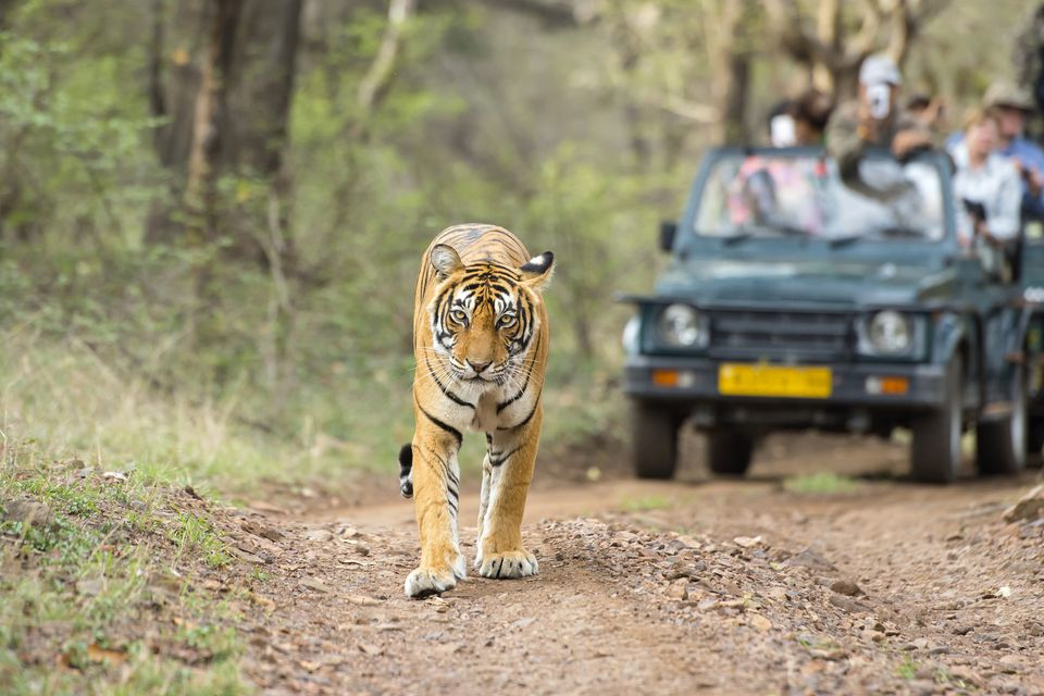 Tiger safari at Ranthambore.
