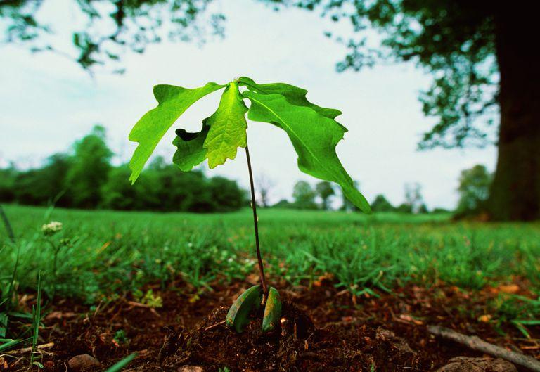 The tiny acorn eventually grows into a mighty oak.