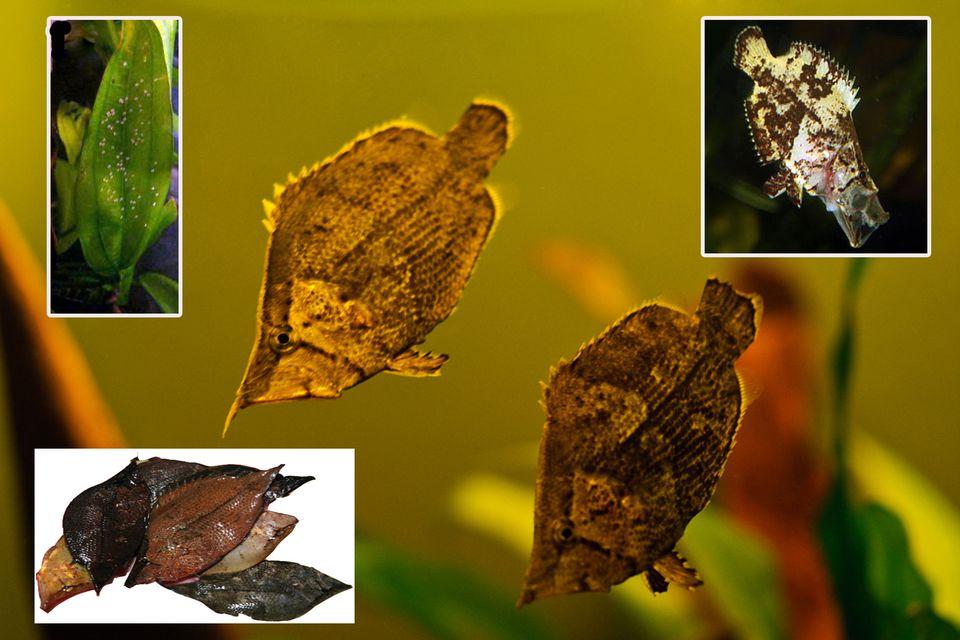 Leaf Fish a South American Preditor Fish