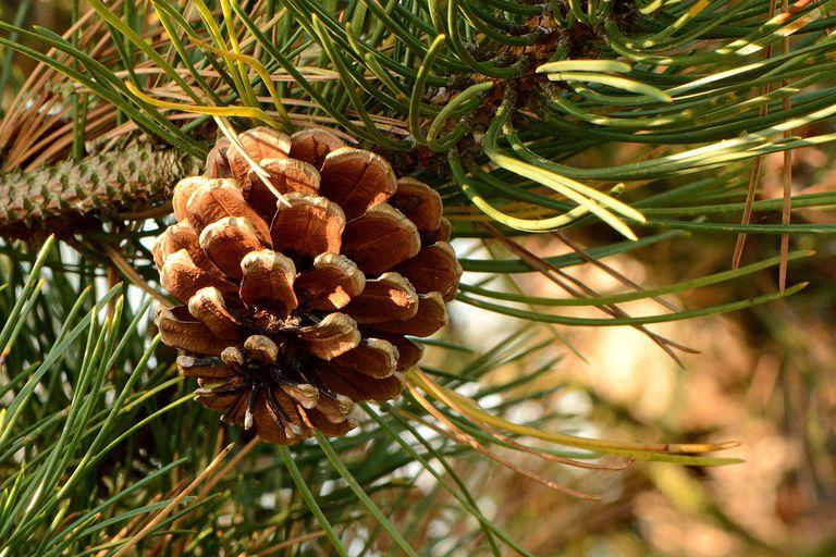 closeup of pine cone on pine tree