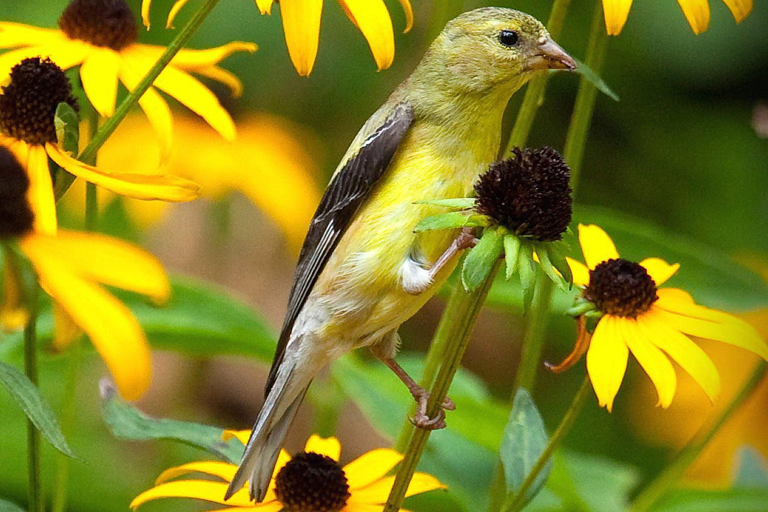 How to Attract Goldfinches to Your Yard