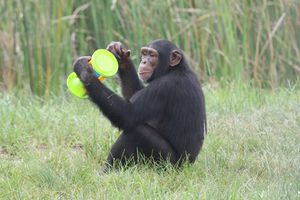 Save the Chimps rescues chimps from bad places like research labs.