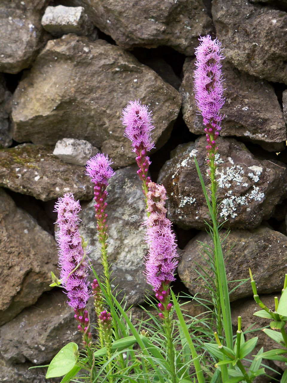 A cluster of liatris in front of a rock wall