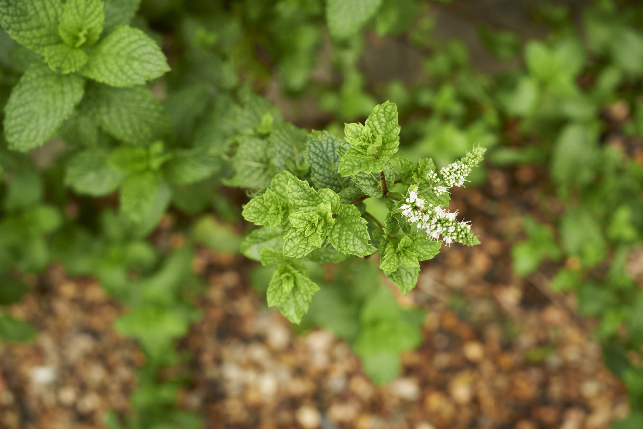 herb garden you can u0027t kill