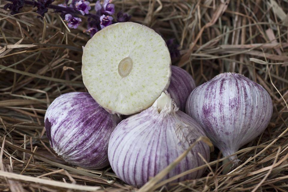 Elephant Garlic (Allium ampeloprasum), garlic variety