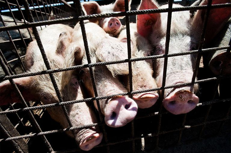 Pigs in pens in the organic pig farming at the Nuova Agricoltura (New Agriculture) farm on October 7, 2012