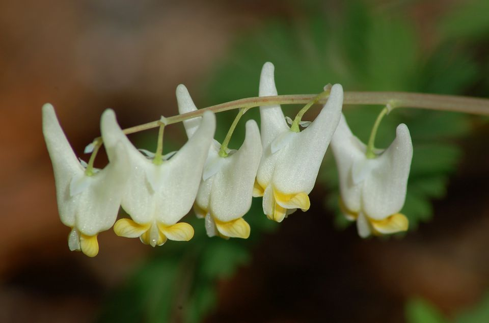 Dutchman's breeches (image) is a spring ephemeral. You have to love the whimsical name.