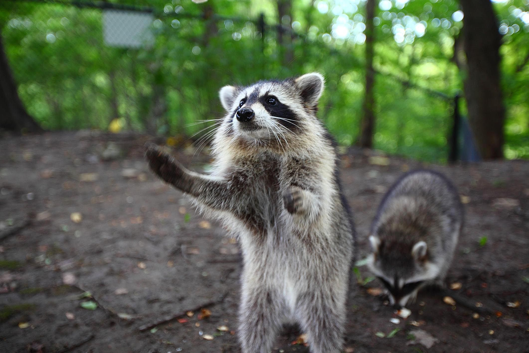 all basic facts about raccoons
