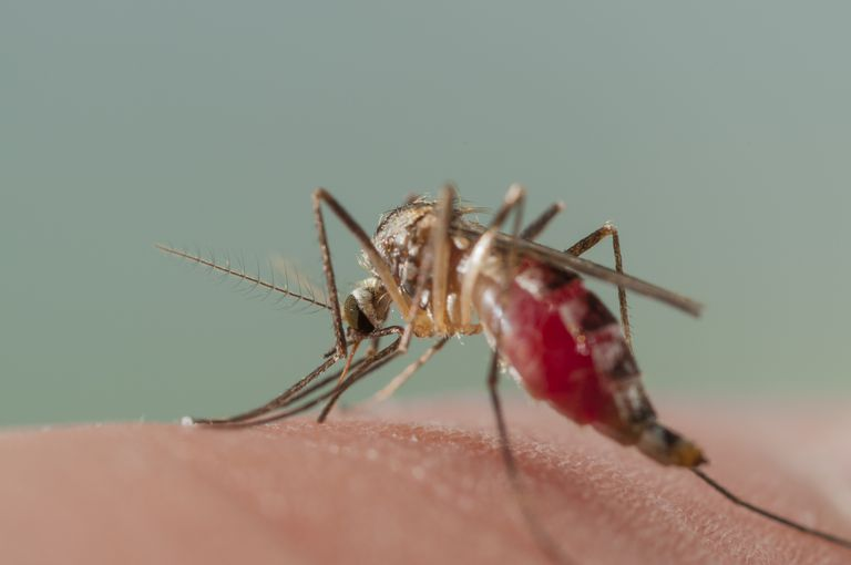 Mosquito biting for blood