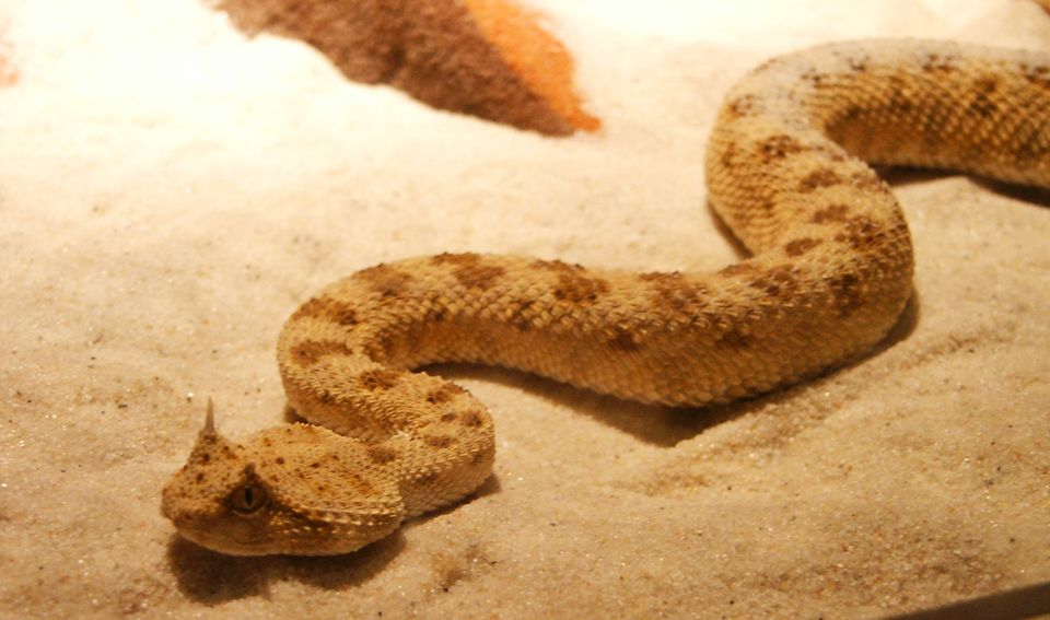 Horned Viper On Sand In Aquarium