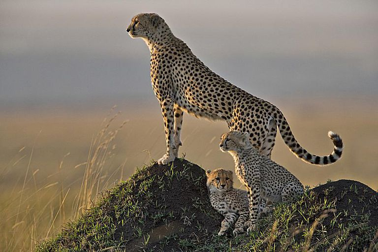 Female cheetah (Acinonyx jubatus). Photographed in Kenya's Masai Mara.