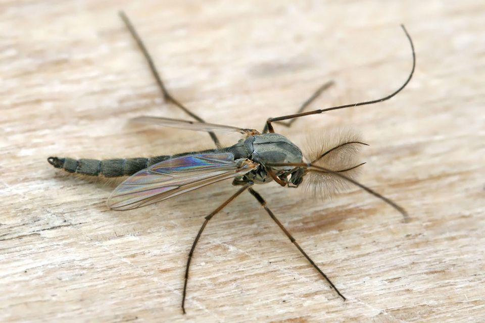 midge fly