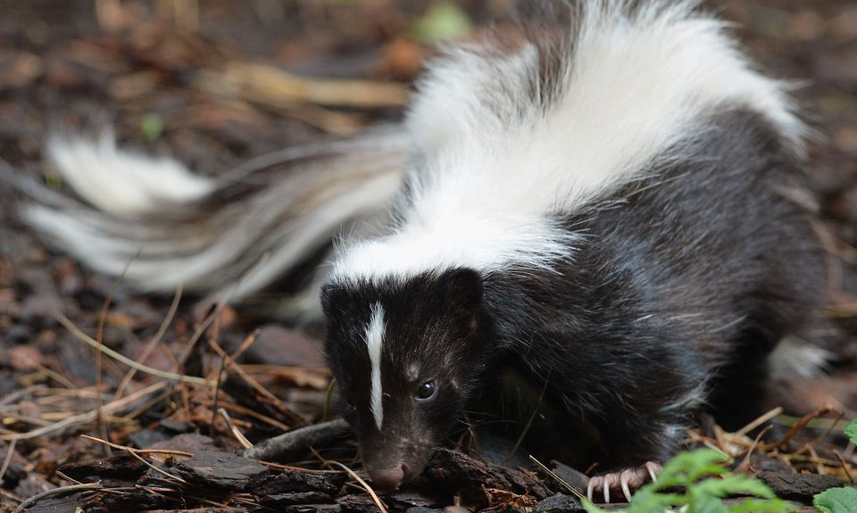 How to Remove Skunk Odors from Clothes