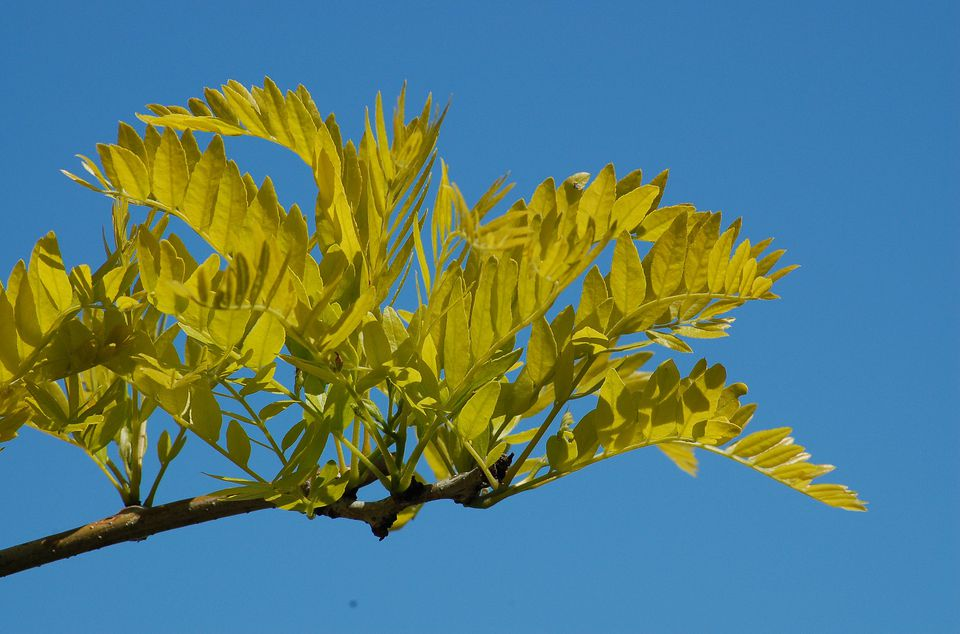 Sunburst honey locust with its golden leaves.