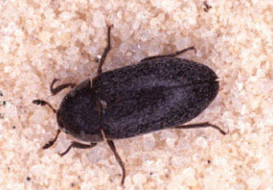 Organic Control of Carpet Beetles. How to Control Clothes Eating Bugs Organically