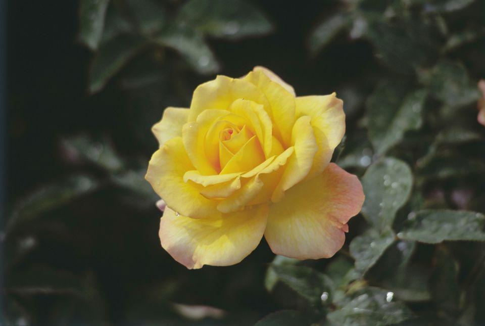 Orange Rhododendron Bush