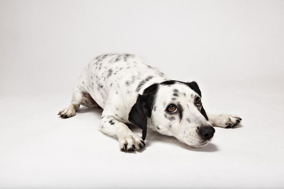 Jack Russell Mix dog laying down
