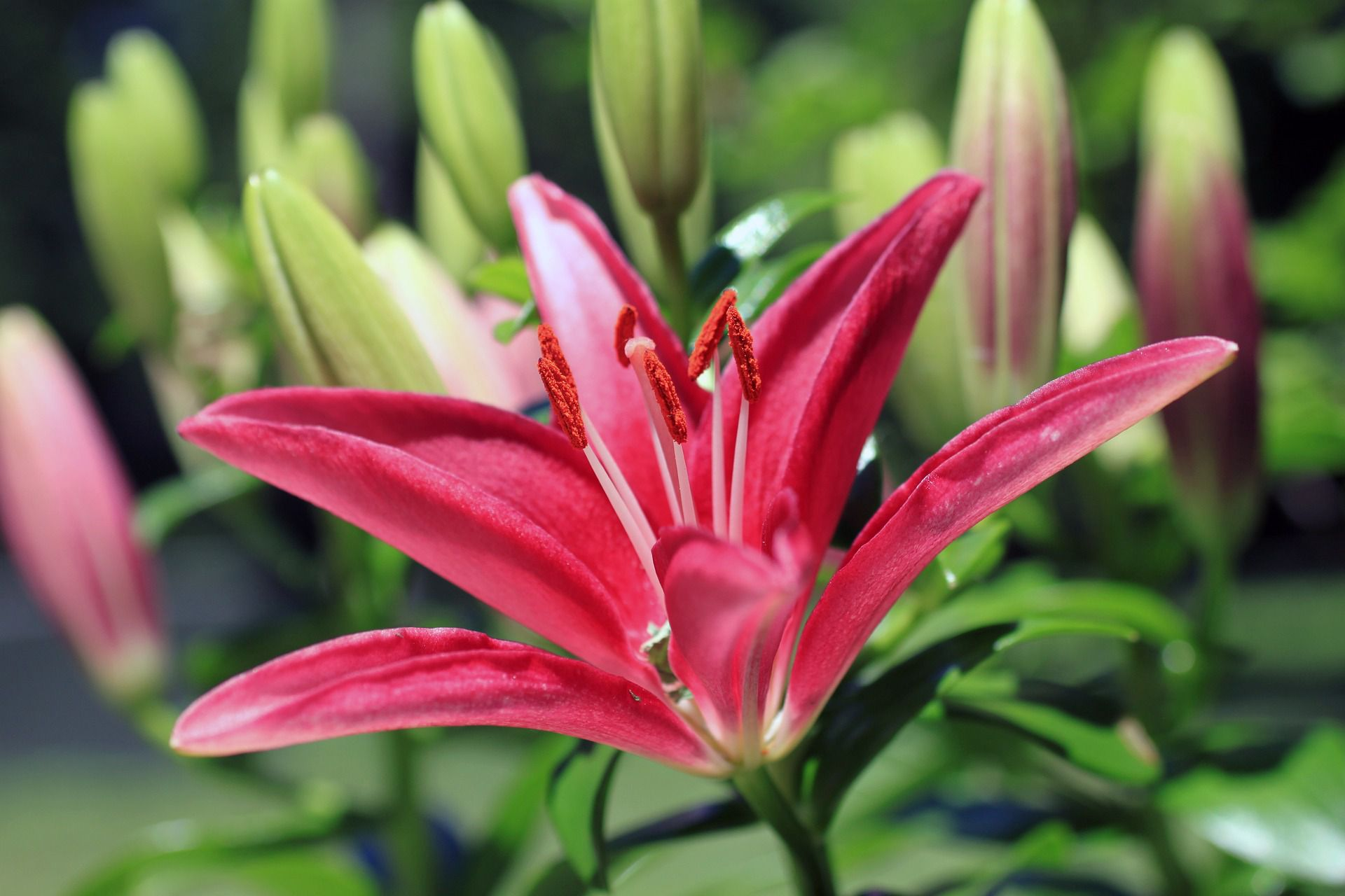 Stargazer lily care and growing tips dhlflorist Image collections