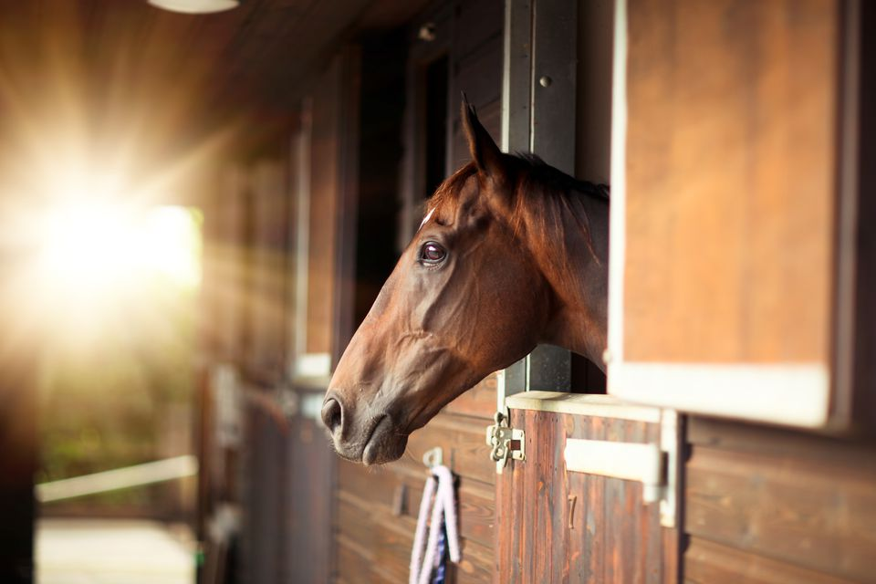 Thoroughbred horse in a stable