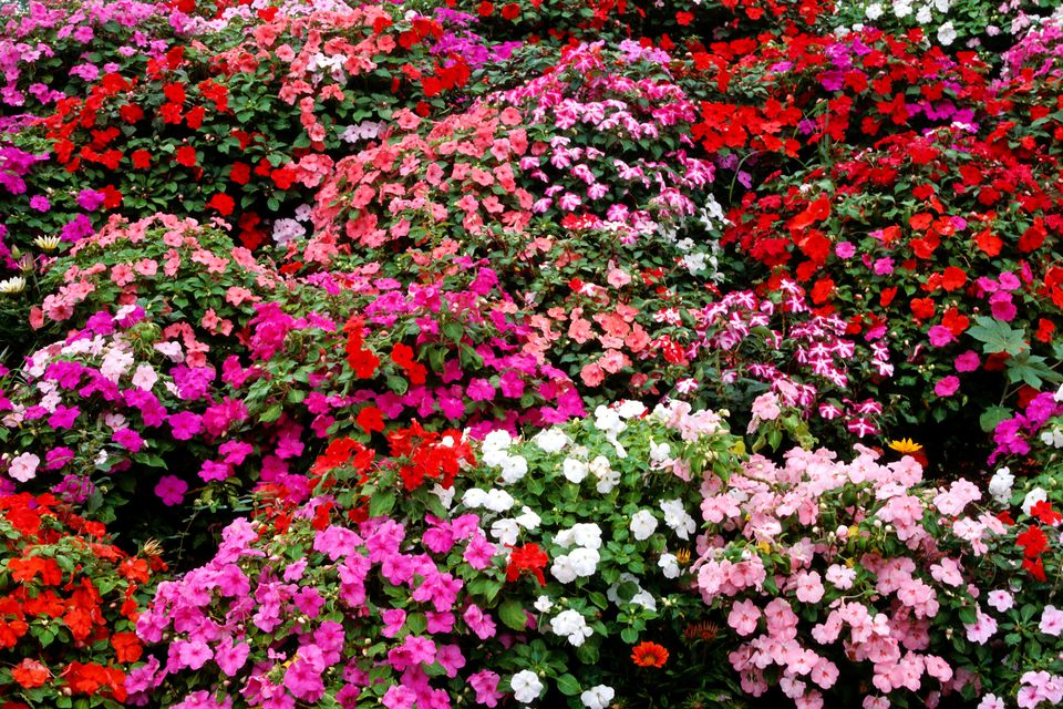 Different colors of impatiens flowers mixed together.