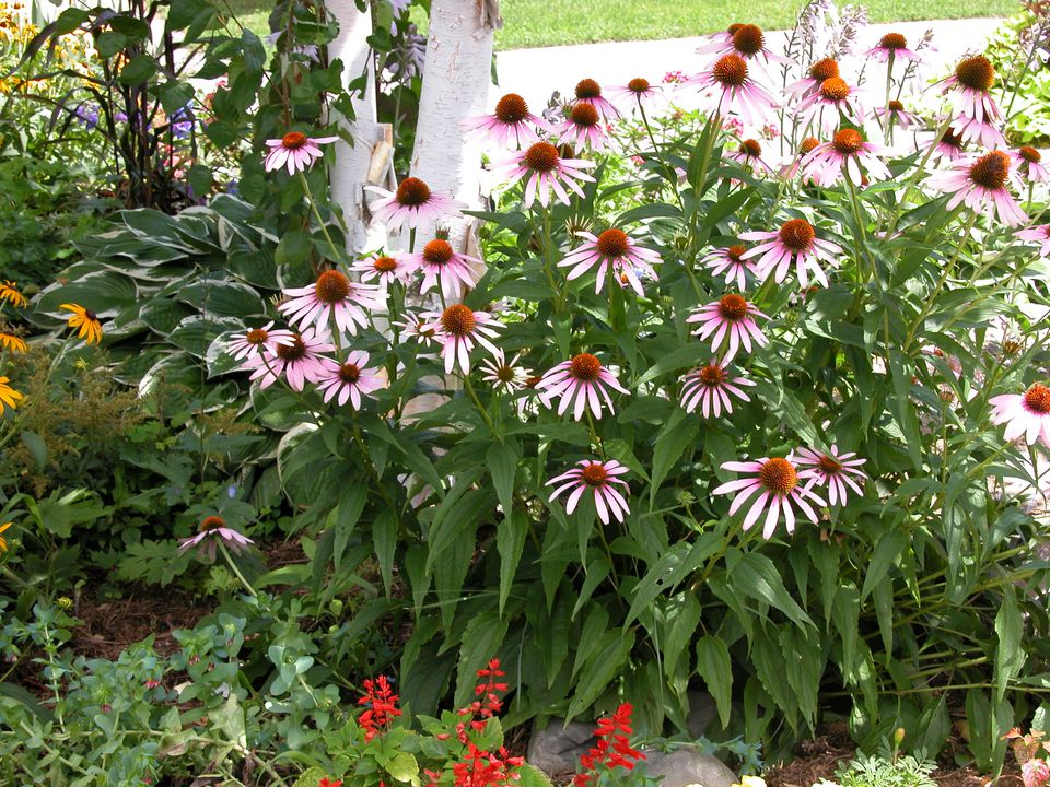 Coneflowers in a Garden Bed