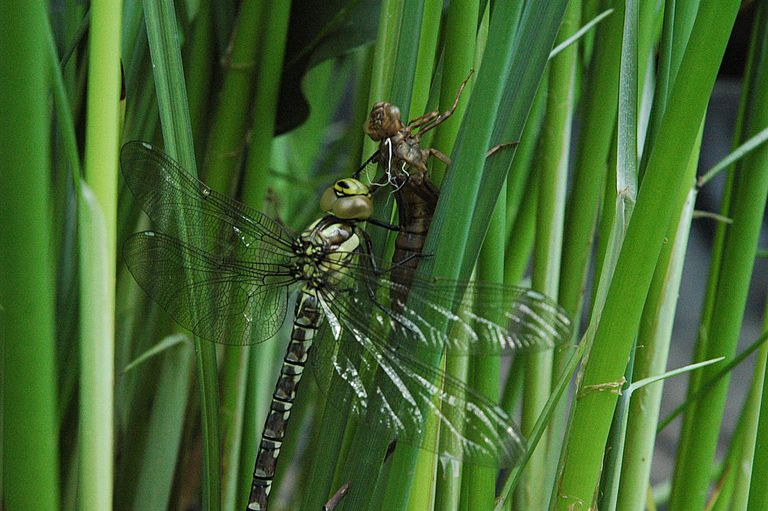 Dragonfly Life Cycle  Introduction