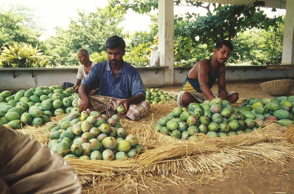 Mango farm in India.