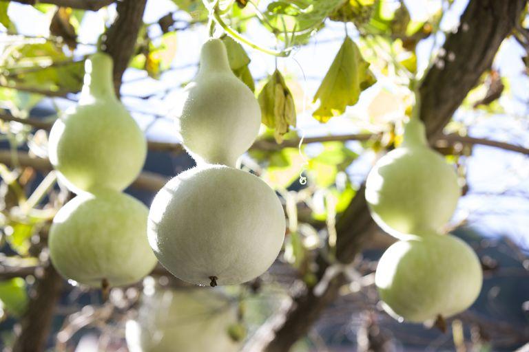 Bottle gourd (Lagenaria siceraria)
