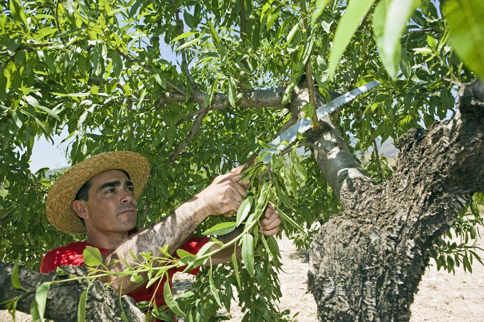 Farmer pruning Almond tree in Springtime